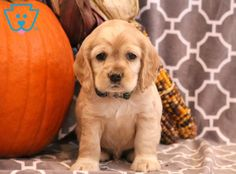 This handsome Cocker Spaniel puppy is looking for his forever family! He will shower you with his puppy love every chance he gets. This puppy will be the Baby Puppies For Sale, Spaniel Puppies For Sale, Cocker Spaniel Puppies, Cute Puppies Images, Puppy Images, Puppy Pictures, American Cocker Spaniel, King Charles, Puppy Love