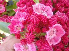 26 Best Kalmia Images Kalmia Latifolia Plants Shrubs