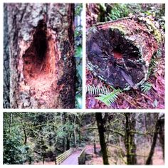 Native oak tree