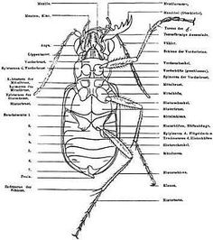 diagram of the external anatomy of a typical insect ant and grasshopper pinterest insects. Black Bedroom Furniture Sets. Home Design Ideas