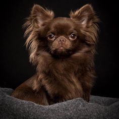 Beautiful and glamorous chihuahua.....I will have one like this named Mimi!!