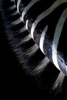 "thephotographerssociety: "" shortbusgus: "" Zebra "" This approach to the neck of the zebra is original and fresh; not only by the inverted viewpoint used in the capture -that requires us to make a. Photography Illustration, Animal Photography, Textures Patterns, Color Patterns, African Artists, Dark Places, Wild Ones, Happy Colors, African Beauty"