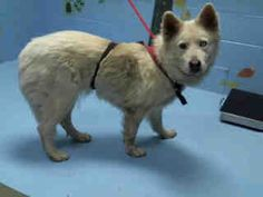 CHIQUITA - #A466287 Moreno Valley CA  I am a female, white and gray Siberian Husky mix.  I am about 3 years old. I weigh  49.80 lbs.  I have been at the shelter since Apr 03, 2018