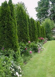 Skyrocket juniper or emerald arborvitae hedge or privacy screen with foundation-style plantings of peonies and ... um ... something else.