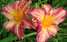 unidentified striped daylily. http://www.ctdaylily.com/images/cyclone_twister_lovell_ok.jpg