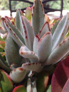 """Panda Plant (kalanchoe tomentosa): Your succulent is prized for its rabbit-eared, plush, felted oval leaves with brown markings resembling stitches, it is native to Madagascar. Forms a shrubby plant with long oval shaped leaves that are densely covered in fuzzy felt. There are many varieties but the """"true type"""" has gray leaves with reddish-chocolate margins and tips. Flowers are small, but are a quite attractive and unique furry bell-shape with yellow and brown predominating. It prefers…"""