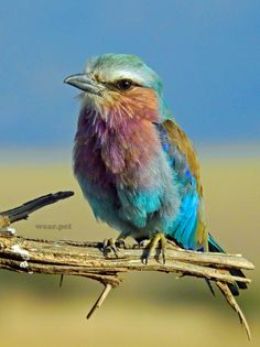 eater shallow focus photography of multi colored bird Lilac-breasted Roller. I think the Lilac-breasted Roller is one of Africa's most beautiful birds. Cute Animals With Funny Captions, Cute Animals Puppies, Cute Animal Memes, Cute Animal Videos, Cute Baby Animals, Funny Animals, Animals Dog, Forest Animals, Wild Animals