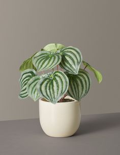 No green thumb required to keep our artificial watermelon peperomia plant looking lively and lush anywhere you place it. It comes paired with our Grant ceramic pot for a realistic look.