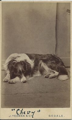 cdv of a collie named Chevy. Faint hint of a leash — this is no post-mortem. Yeoman & Co. From bendale collection Dog Breeds Little, Best Dog Breeds, Dog Photos, Dog Pictures, Big Dogs, Dogs And Puppies, Doggies, Big Dog House, Border Collie Art