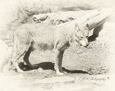 Antiqued Wolf PhotographFine Art Photograph by LMRPhotography2, $25.00 #antiquephoto #wolfphoto #fineart #etsy