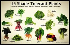 15 Shade Tolerant Plants These root vegetables, herbs, and leafy greens all need 4 hours of sun a day, or less Kale Parsley Cilantro Lettuce Garlic Mustard Greens Arugula Beets Scallions Turnips Spinach Carrots Chard Potatoes Bok Choy Indoor Vegetable Gardening, Veg Garden, Garden Beds, Organic Gardening, Garden Plants, Gardening Tips, House Plants, Organic Soil, Herb Plants