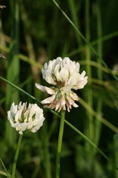 Kvitkløver, hvitkløver - Trifolium repens - Naturfakta