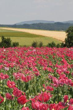 Free stock photo of field, flowers, meadow, hills