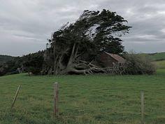 The Twisted Trees of Slope Point ~ Kuriositas