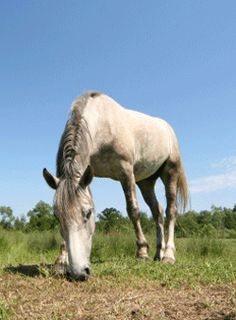 Careful with that Grass - slowly introduce horses in springtime to pasture to prevent laminitis.....20 min for a week, then increase each week until the horse can graze for an hour or more.......