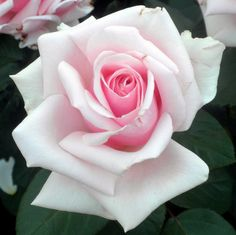 How To Select Little One Dresses Rose Frank Benardella Flowers Nature, Exotic Flowers, Amazing Flowers, Beautiful Roses, Beautiful Flowers, Rose Pictures, Flower Photos, Rose Photos, Rose Tattoos