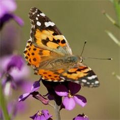 2005 largest migration of painted lady butterflies