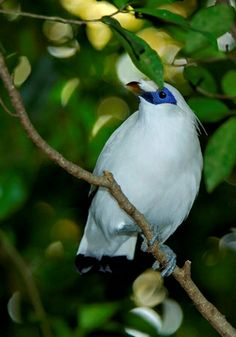 BALI MYNAH (Leucopsar rothschildi) - The island of Bali's only endemic vertebrate species. Bali mynahs have a lacy crest of feathers, which is lifted during courtship. They are found in forests and open woodlands and eat  fruit, insects, invertebrates & small reptiles  Bali mynahs are cavity nesters, preferring to use nesting sites in hollow trees.They may have 2-3 clutches of eggs per year, each with 2-3 eggs. Both parents incubate and rear the chicks.
