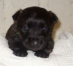 baby scottish terrier 1000 images about scottie puppies on pinterest scottish 8021