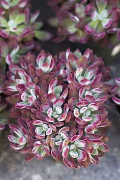 """""""Red Velvet"""" Succulents - Absolutely stunning. Colorful & fuzzy. http://rogersgardens.com/outdoor-gardens-garden-rooms/"""