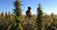 Hemp Oil Versus CBD Oil: What's The Difference? Hoping to ensure that consumers are not misled about the intended uses of hemp and CBD oils, the Hemp Industries Association issues a statement explaining the differences. Club Usa, New Farm, Hurdles, Hemp Oil, South Dakota, Michigan, Wisconsin, The Cure, World