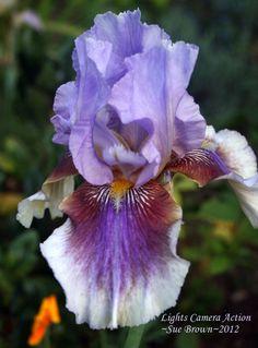 Iris (Iris 'Lights Camera Action') uploaded by Calif_Sue