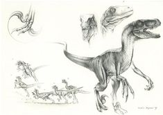 Draw Dinosaurs JP Velociraptor by ~PaleoPastori - Dinosaur Sketch, Dinosaur Drawing, Dinosaur Art, Animal Sketches, Animal Drawings, Jurrassic Park, Raptor Dinosaur, Jurassic Park World, Prehistoric Creatures