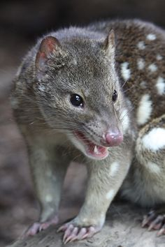 Northern quoll (Dasyurus hallucatus), also known as the northern native cat, the satanellus, the North Australian native cat or the njanmak (in the indigenous Mayali language), is a carnivorous marsupial native to Australia. Interesting Animals, Unusual Animals, Rare Animals, Animals Beautiful, Mundo Animal, My Animal, Cane Corso, Australia Animals, Animals Of The World
