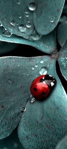 ladybug and droplets on leaf