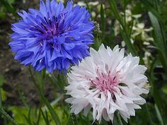 Bachelor buttons (Cornflower) are one of the only true blue flowers in nature. Color Flowers in Baltimore Bachelor Button Flowers, Bachelor Buttons, Fall Flowers, White Flowers, Beautiful Flowers, Button Picture, Annual Flowers, Language Of Flowers, Types Of Flowers