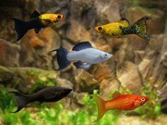 Tropical Freshwater Fish, Tropical Fish, Big Aquarium, Brine Shrimp, Black Balloons, Angel Fish, Live Plants, Fresh Water, Creatures