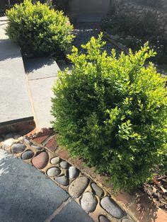 Unclipped Buxus sempervirens looking lush in the sun Buxus Sempervirens, Bespoke Design, Planting, Lush, Garden Design, Sidewalk, Landscape, Flowers, Custom Design