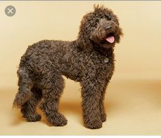 This dog looks almost identical to our Andie bear! Labradoodle - article about best big dogs for families Hyperallergenic Dogs, Dogs And Puppies, Doggies, Best Dogs For Families, Family Dogs, Best Big Dogs, Terrier Airedale, Chocolate Labradoodle, Dog Breeds