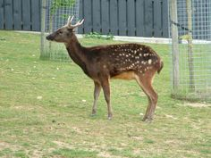 TheVisayan spotted deer(Rusa alfredi), also known as thePhilippine spotted deer