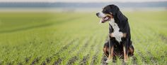Greater Swiss Mountain dog breed infomation on health, history, appearance, temperament and maintenance. Mountain Dog Breeds, Swiss Mountain Dogs, Can Dogs Eat Blueberries, Dog Tags Military, Dog Dental Care, Guide Dog, Working Dogs, Dog Walking, Dog Grooming