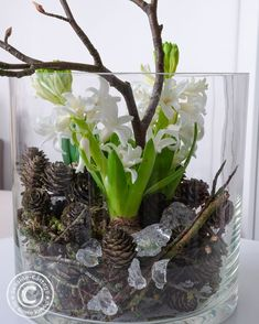 White hyacinths decorated in a glass with cones, twigs and pieces of glass - Inge Häring, pieces # Häring Best Picture For funeral frases For Your Taste You are looking for Easter Table Decorations, Flower Decorations, All Flowers, White Flowers, Front Garden Entrance, Hair Rainbow, White Hyacinth, Flower Drawing Images, Brindille