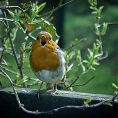 He's singing in our garden all morning ❤ #robin #sotiny #bird #garden #green #nature #sunny