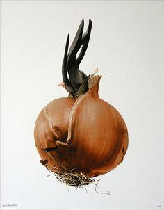"© Denis Brihat: Oignon germé"", 30 x 40 cm"