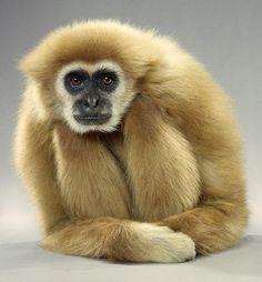 Gibbon - Monkey portraits by Jill Greenberg