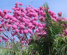 Ipê roxo Handroanthus avellanedae