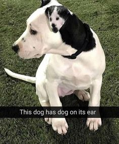 Get Your Laugh On To These 30 Funny Pictures Pitbulls, Pit Bulls, Pitbull, Pitbull Terrier, Pit Bull