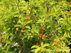 Duranta erecta 'Sheena's Gold ®'-moderate water Sun Plants, Plants, Flora, Water