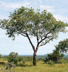The history of the marula tree goes back thousands of years. Archaeological evidence shows the marula tree was a source of nutrition as long as ago Garden Trees, Trees To Plant, African Tree, Tree Identification, Tree Sketches, Photo Tree, African Safari, Zinnias, Africa