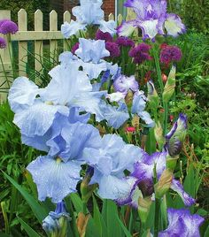 Bearded iris. Water droplets and alliums make for a stunning image.