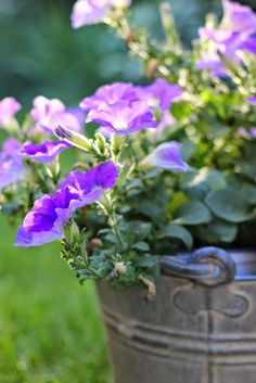 potted pansies in galvanized container