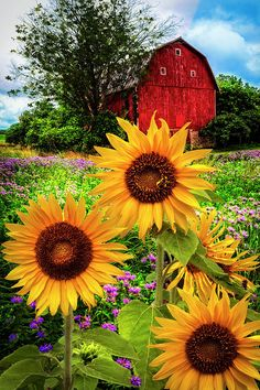 19 Exotic Types of Tropical Flowers for Home Decorations (Various Colors) Sunflower Pictures, Sunflower Art, Sunflower Fields, Sunflower Quotes, Barn Pictures, Pretty Pictures, Tropical Flowers, Happy Flowers, Beautiful Flowers