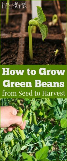 How to Grow Green Beans in your garden, including gardening tips on how to plant green bean seeds, how to transplant and care for green bean seedlings, and how to harvest green beans.