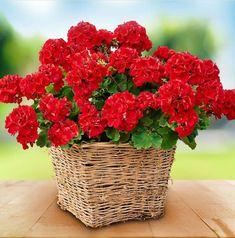 Geranium Plant, Geranium Flower, Favorite Color, Strawberry, Fruit, Plants, Red Things, Health, Ideas