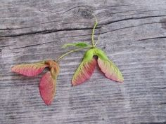 Single Winged Maple Tree Fruit Identification