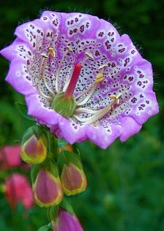 Digitalis  is a genus of about 20 species of herbaceous perennials, shrubs, and biennials commonly called foxgloves. The best-known species is the common foxglove, Digitalis purpurea.